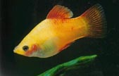 Variegated Platy