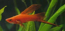 Red High-Fin Swordtail